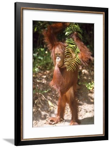 Orang-Utan Plays with Fern--Framed Art Print