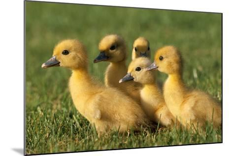 Domestic Ducklings X Five in Grass--Mounted Photographic Print