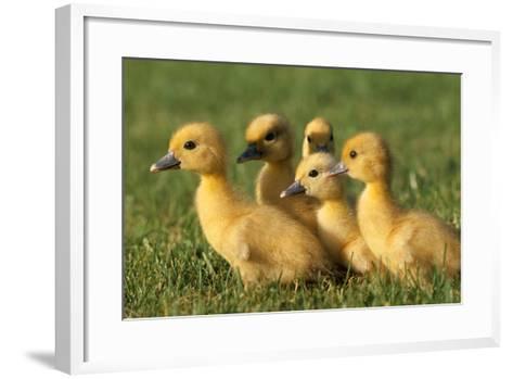 Domestic Ducklings X Five in Grass--Framed Art Print