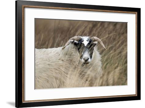 Highland Blackface Sheep--Framed Art Print