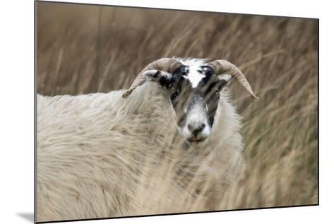 Highland Blackface Sheep--Mounted Photographic Print