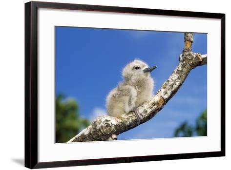 Fairy Tern Chick on Branch--Framed Art Print