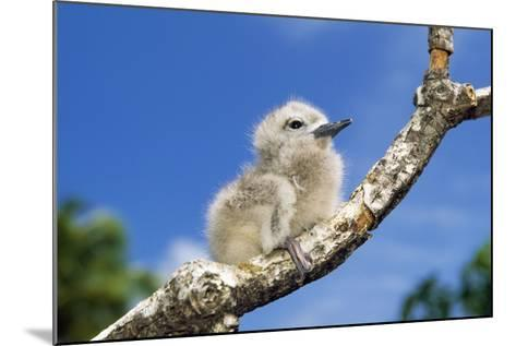 Fairy Tern Chick on Branch--Mounted Photographic Print