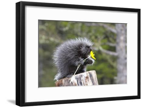 North American Porcupine Baby Holding Yellow Flower--Framed Art Print