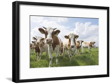 Simmental Cattle Cows in Meadow--Framed Art Print