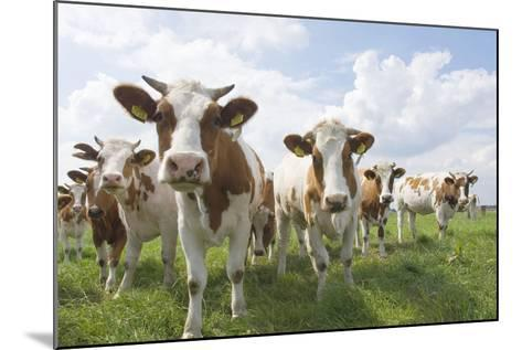 Simmental Cattle Cows in Meadow--Mounted Photographic Print