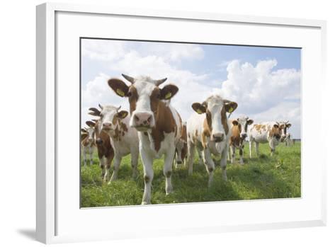 Simmental Cattle Cows in Meadow--Framed Art Print