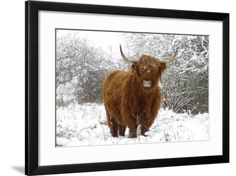 Scottish Highland Cow in the Snowy Foreland of River Ijssel--Framed Art Print