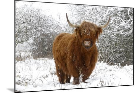 Scottish Highland Cow in the Snowy Foreland of River Ijssel--Mounted Photographic Print