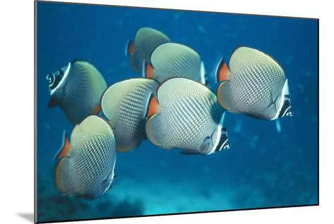 Collared Pakistan Butterfly Fish--Mounted Photographic Print