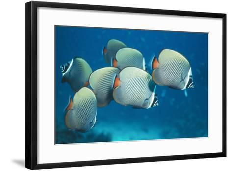 Collared Pakistan Butterfly Fish--Framed Art Print