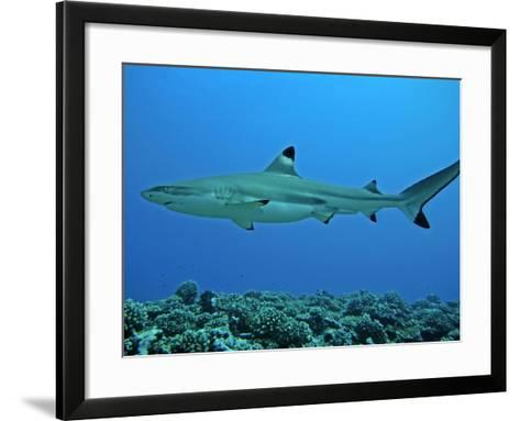 Blacktip Reef Shark Male Considered--Framed Art Print