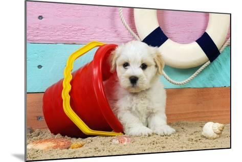 White Teddy Bear Puppy at the Beach in a Bucket--Mounted Photographic Print