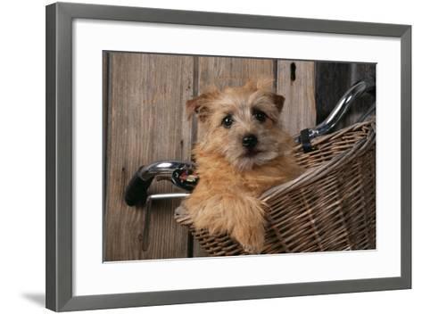 Border Terrier in Bicycle Basket--Framed Art Print