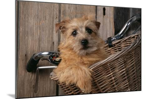 Border Terrier in Bicycle Basket--Mounted Photographic Print