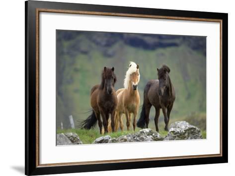 Icelandic Horse Three Standing--Framed Art Print