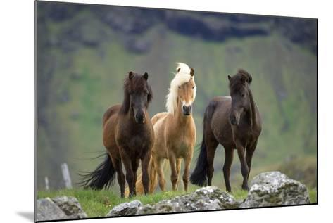 Icelandic Horse Three Standing--Mounted Photographic Print
