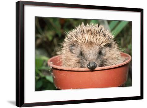 Hedgehog Close-Up in Flower Pot--Framed Art Print