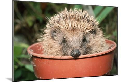Hedgehog Close-Up in Flower Pot--Mounted Photographic Print