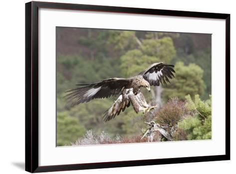 Golden Eagle--Framed Art Print