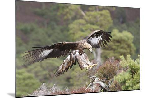 Golden Eagle--Mounted Photographic Print