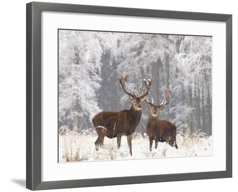 Red Deer Bucks in Snow--Framed Art Print