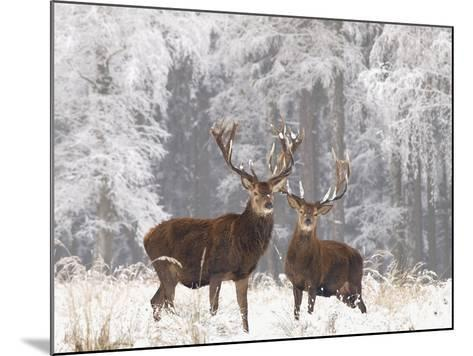 Red Deer Bucks in Snow--Mounted Photographic Print