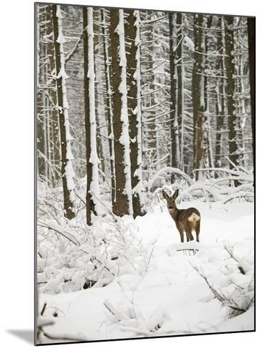 Roe Deer in Snow--Mounted Photographic Print