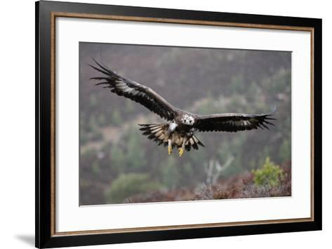 Golden Eagle in Flight--Framed Art Print