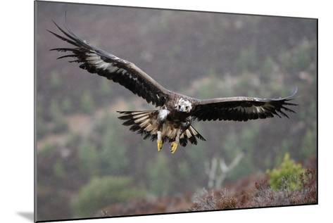 Golden Eagle in Flight--Mounted Photographic Print