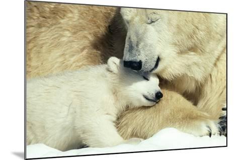 Polar Bear and Cub--Mounted Photographic Print