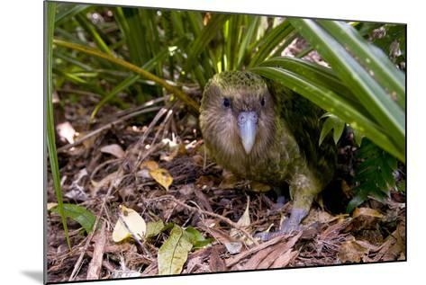 Kakapo Wild Male known as Sirocco--Mounted Photographic Print