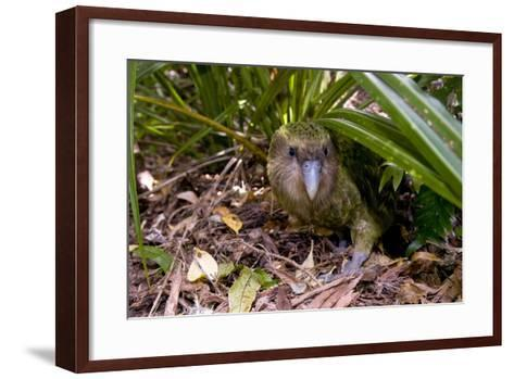 Kakapo Wild Male known as Sirocco--Framed Art Print