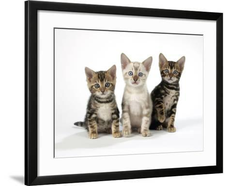 Snow Marble and Brown Marble Blue-Eyed Bengal--Framed Art Print