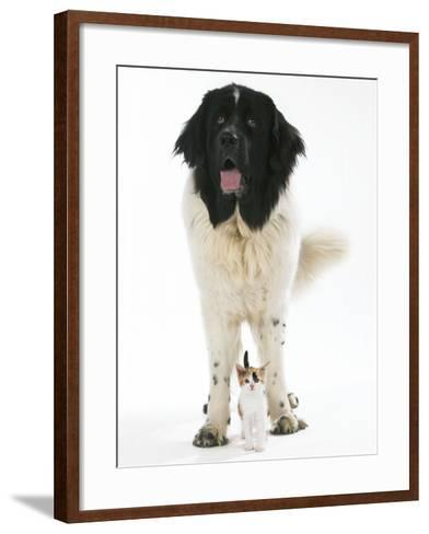 Newfoundland with Kitten--Framed Art Print