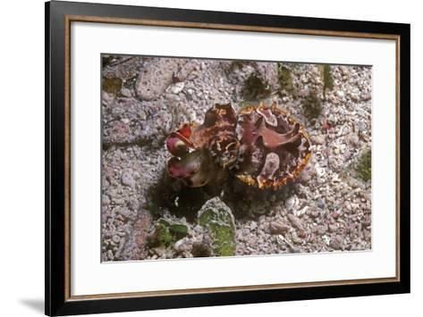 Flamboyant Cuttlefish Photographed in an Isolated--Framed Art Print