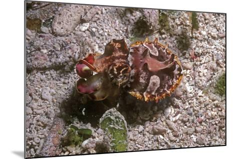 Flamboyant Cuttlefish Photographed in an Isolated--Mounted Photographic Print