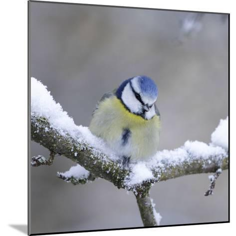 Blue Tit in Winter on Snowy Branch--Mounted Photographic Print
