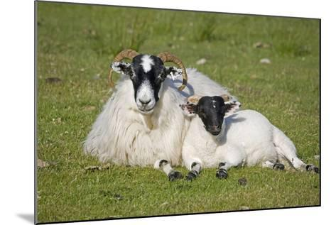 Scottish Black-Faced Ewe and Lamb--Mounted Photographic Print
