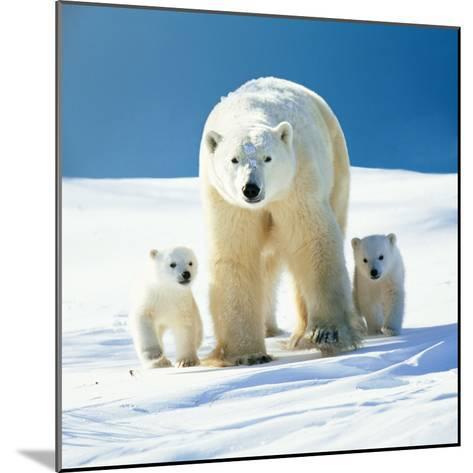Polar Bear Parent with Cubs--Mounted Photographic Print