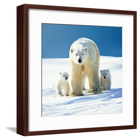 Polar Bear Parent with Cubs--Framed Art Print