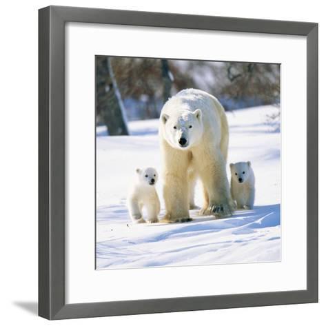 Polar Bear with Two Cubs--Framed Art Print