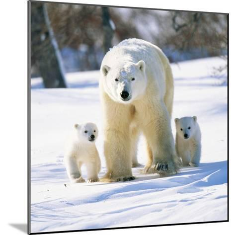 Polar Bear with Two Cubs--Mounted Photographic Print