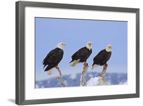 Bald Eagle Three--Framed Art Print