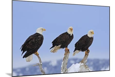 Bald Eagle Three--Mounted Photographic Print