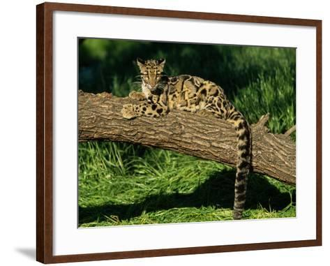 Clouded Leopard Resting on Log--Framed Art Print
