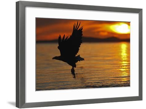 White-Tailed Eagle in Flight Above Water With--Framed Art Print