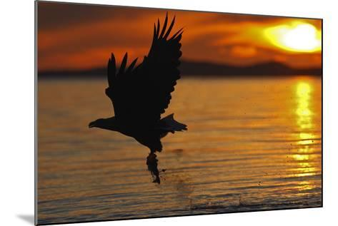 White-Tailed Eagle in Flight Above Water With--Mounted Photographic Print