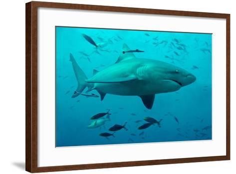 Bull Shark Female--Framed Art Print