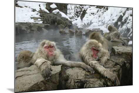 Snow Monkeys--Mounted Photographic Print